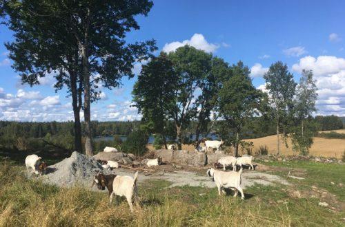 """「未来の放牧」はこれで決まり?ノルウェー生まれの""""バーチャルフェンス""""が畜産業を変える"""