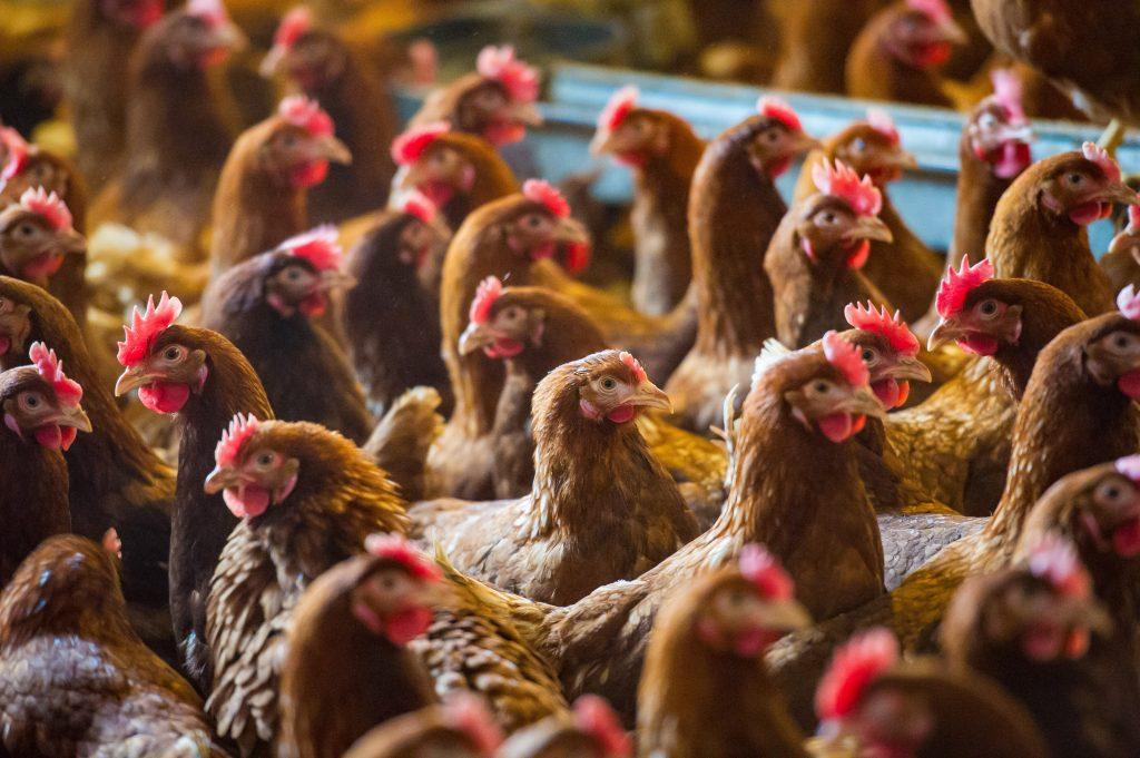 養鶏もテクノロジーでスマートに。畜産業界にも押し寄せるIoT化の波